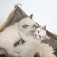 VESPER Meuble Cabana - Blanc et chene - Pour chat 50x50x53cm